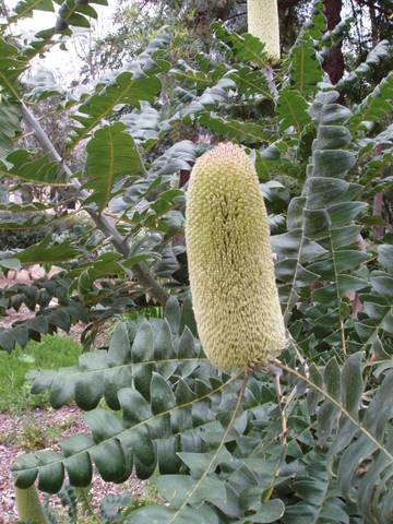 Banksia Grandis Australian Native Plants Plants 800