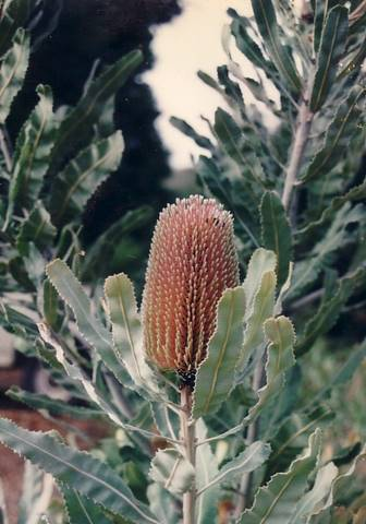 Banksia menziesii • Australian Native Plants • Plants ...