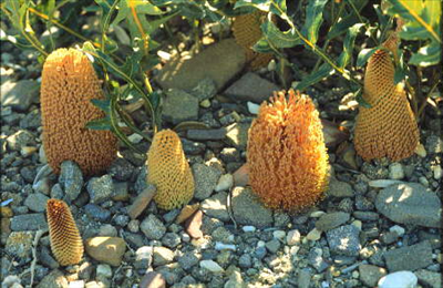Kangaroopawyellow Flowers on Banksia Repens     Australian Native Plants Nursery     Plants     800