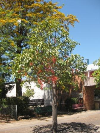 Brachychiton Acerifolius Australian Native Plants