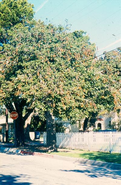 Brachychiton Australis Australian Native Plants Plants