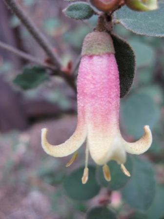 Correa Dawn In Santa Cruz Australian Native Plants