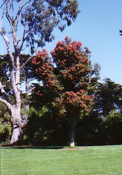 Eucalyptus Ficifolia Australian Native Plants Plants