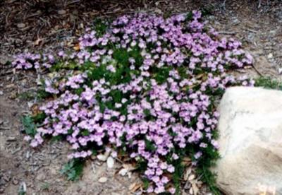 Hemiandra Pungens Australian Native Plants Plants