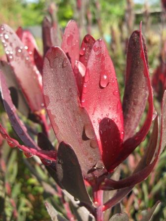 leucadendron 39 safari sunset 39 australian native plants plants. Black Bedroom Furniture Sets. Home Design Ideas