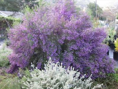 Prostanthera Ovalifolia Australian Native Plants