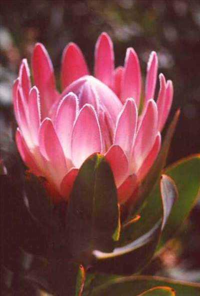 Protea Pink Duke Australian Native Plants Plants