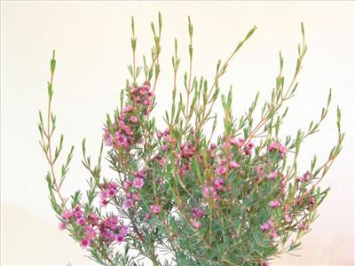 Verticordia Plumosa Australian Native Plants Plants