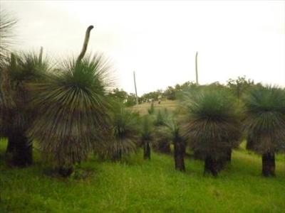 Xanthorrhoea Glauca Australian Native Plants Plants