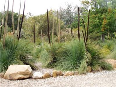 Xanthorrhoea Preissii Australian Native Plants Plants