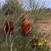 Banksia occidentalis