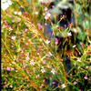 Boronia denticulata