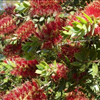 Callistemon 'Hitchinbrook'
