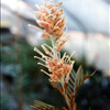 Grevillea 'Kay Williams'
