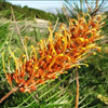 Grevillea Little Honey