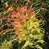 Grevillea 'Peaches and Cream'