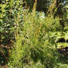 Kunzea ericiofolia 'Green and Gold'