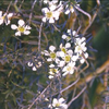 Leptospermum brevipes