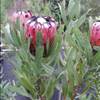 Protea nerifolia 'Red Robe'