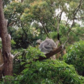 Taronga Zoo Koala Exhibit