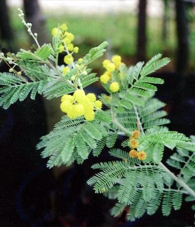 Acacia Mollifolia Australian Native Plants Plants