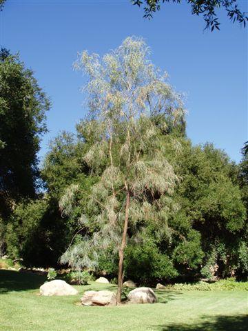 Acacia Stenophylla Australian Native Plants Plants