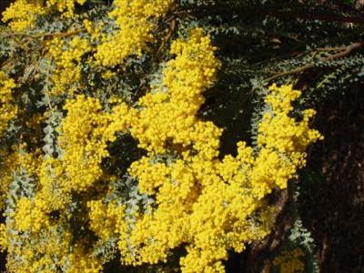 Acacia Cultriformis Australian Native Plants Plants