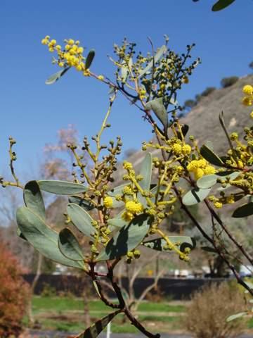 Acacia Notabilis Australian Native Plants Plants 800
