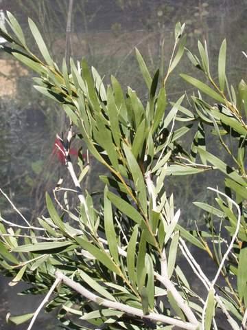 Acacia Pendula Australian Native Plants Plants 8007016517