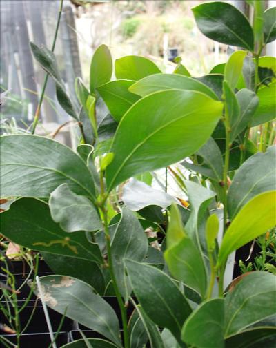 Acacia Pycnantha Australian Native Plants Plants 8007016517