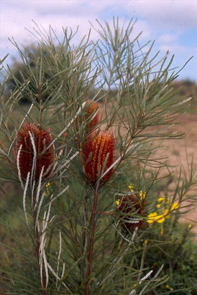 Banksia Occidentalis Australian Native Plants Plants