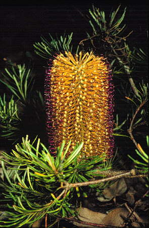 Banksia Spinulosa Australian Native Plants Plants