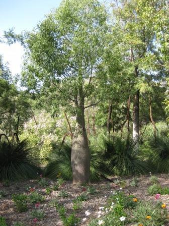 Brachychiton Rupestris Australian Native Plants Plants