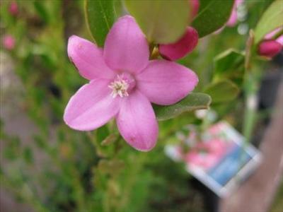 Crowea Pink Star Australian Native Plants Plants 8007016517