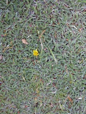 Diamondia Margarete Australian Native Plants Plants
