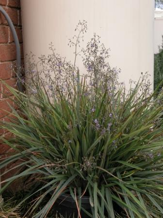 Dianella Revoluta Big Rev Australian Native Plants