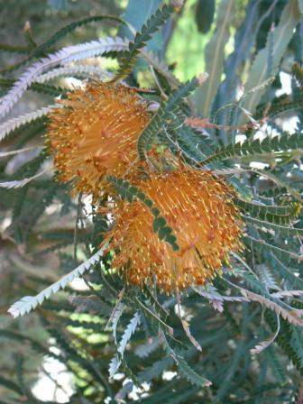 Dryandra Formosa Australian Native Plants Plants 800