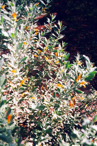 eremophila glabra kalgoorlie � australian native plants