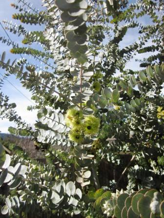 Eucalyptus Kruseana Australian Native Plants Plants