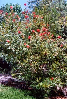 Grevillea Banksii Australian Native Plants Plants