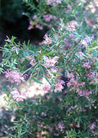 Grevillea Sericea Australian Native Plants Plants