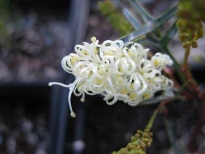 Grevillea Synapheae Australian Native Plants Plants
