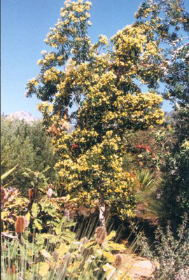 Hymenosporum Flavum Australian Native Plants Plants