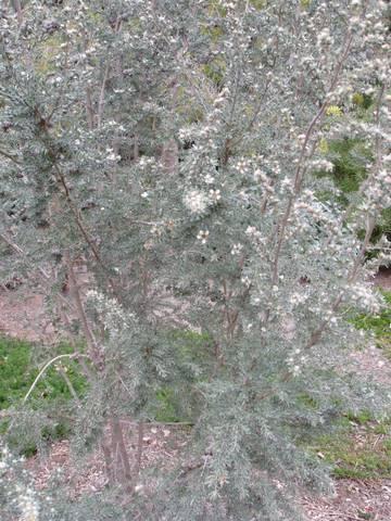 Leptospermum Lanigerum Australian Native Plants Plants