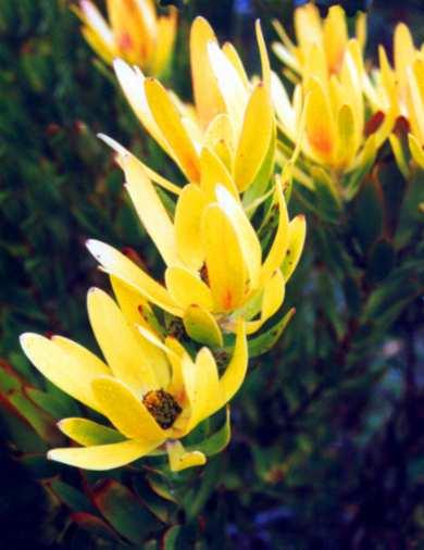 Leucadendron Laureolum Australian Native Plants Plants