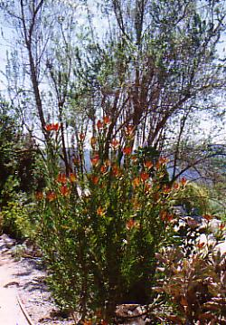 Leucadendron Silvan Red Australian Native Plants