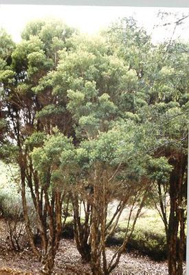 Melaleuca Alternifolia Australian Native Plants Plants