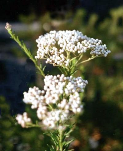Ozothamnus Diosmifolius Australian Native Plants