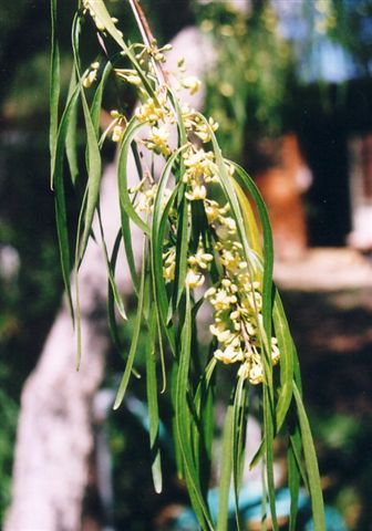 Pittosporum Angustifolium Syn P Phylliraeoides