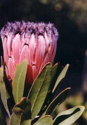 Protea Nerifolia Australian Native Plants Plants 800